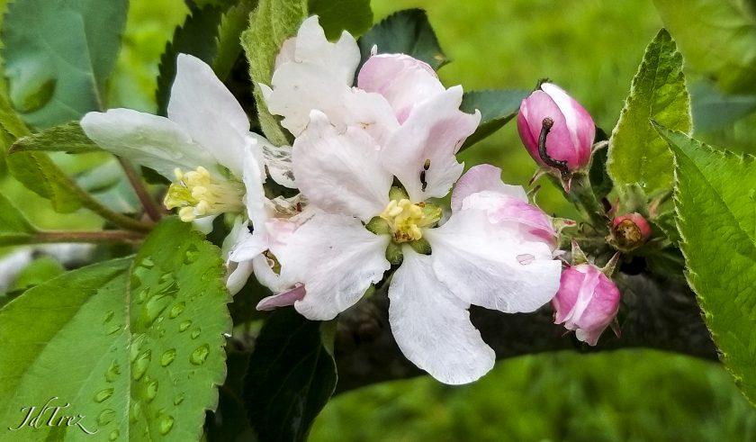 Jolie fleur de pommier